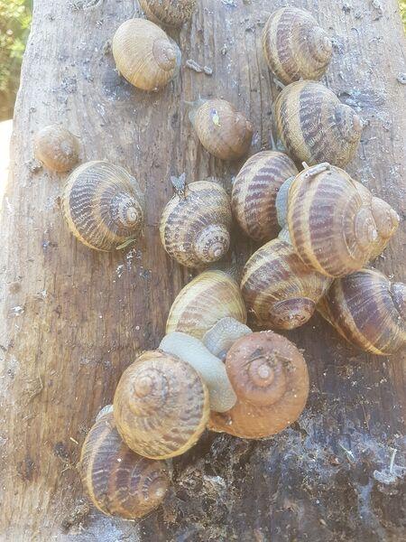 Les nuits de l'escargots Visite commentée + dégustation , en soirée, d'une exploitation d'escargots à Le Pradet - 3